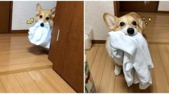 洗衣服囉!柯基「嘴叼衣服」咚咚咚跑來 一臉呆萌「幫忙做家事」:偶很乖吧❤️
