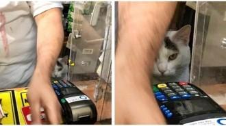 通通給朕買!貓咪「入住商店」自己當老闆 表情超派「緊盯客人付錢」:還要小費!