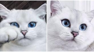 好像兩顆大水晶❤️高顏值白喵「絕美水藍色大眼」貴氣十足 下秒「向鏡頭撒嬌拋媚眼」奴才全被征服