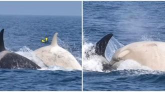出海賞鯨驚見「純白身影」自在悠遊!珍貴畫面「宛如神話」遊客直呼:不能只有我們看到!