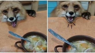 小狐狸「想偷吃湯麵」被媽抓包!下秒「哇哇大叫」萌聲抗議:一口就好嘛~