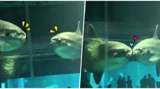 2魚「面對面緩緩靠近」是你、是你...下秒磁鐵般相吸「印上一吻」網讚嘆:畫面太美~