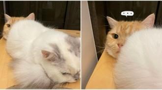 就是要饋修!P孩喵「擠好擠滿」還屁屁對臉  底下橘貓「無奈眼神死」:你有事嗎?