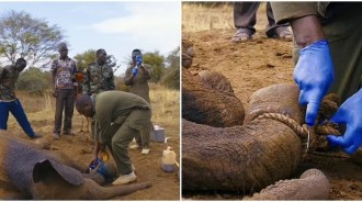 小象受困「獵人陷阱」…救援團隊「緊急出動」幫剪繩索還擦藥:下次要小心哦~
