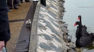 人家怕怕~天鵝寶寶「堅持不下水」岸邊哭哭 爸媽無奈求救:人類幫幫我