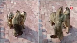 林北的地盤啦!8+9土撥鼠「互爭當老大」 相撲式打架「短手揮揮」意外反差萌~