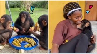 跨越血緣!黑猩猩寶寶「香蕉吃一半」 急奔「飼育員馬麻」懷抱求蹭蹭:人家好想你~