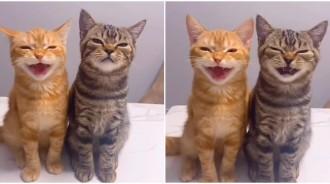上輩子是羊?兩貓端坐桌上竟「開口咩咩叫」 嗲叫「萌萌喵星語」網笑翻:誰來翻譯一下~