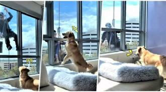 發現外面「有人洗窗」你素隨?金金裝兇沒幾秒「嗨叼玩具」窗前搖尾搭訕:陪偶玩~
