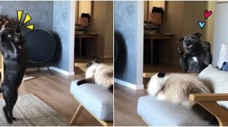 理偶一下嘛~熱情汪「燦笑跳跳」邀約一起玩 主子「一個翻身」冷漠無視:這隻狗怎麼回事