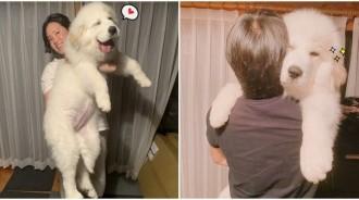 找愛犬合照抱起來「跟媽一樣高」!萌汪4個月「膨脹成XXL尺寸」:人家還是寶寶~