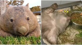 小袋熊被救援後好幸福~露「慵懶本性」天天躺著耍廢吃飯:耶不用努力惹!