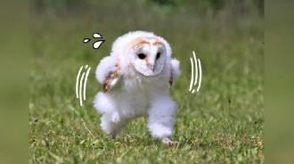 見貓頭鷹「邁步手刀奔跑」畫面太有戲!網紛紛腦補瘋傳:工讀生趕著去上班?
