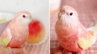 鸚鵡界的選美皇后!超夢幻「浪漫粉嫩色鸚鵡」萌翻天 絕美配色「捲起身子秒變水蜜桃」畫面更Q❤️